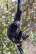 6th Jan 2015 - Siamang Gibbon - Mogo Zoo