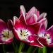 Tulips by salza