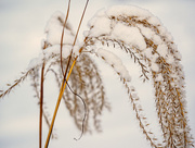 6th Jan 2015 - Native Grass and Snow