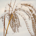 Native Grass and Snow by tosee