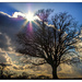 "Oak tree at Slaugham (""Sluffam""!) by ivan"