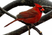 7th Jan 2015 - Rainy Day Cardinal