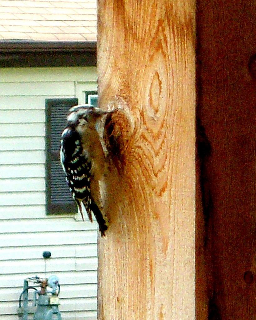 Woodpecker by bruni