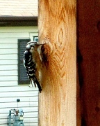 13th Sep 2010 - Woodpecker