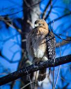 8th Jan 2015 - Cooper's Hawk? Or Red-Shouldered Hawk?
