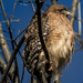 Red-shouldered Hawk (reloaded--my apologies to anyone who commented) by darylo
