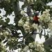 Lorikeet shredding blooms by loey5150