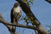 28th Oct 2010 - Not Red-tailed Red-tailed Hawk