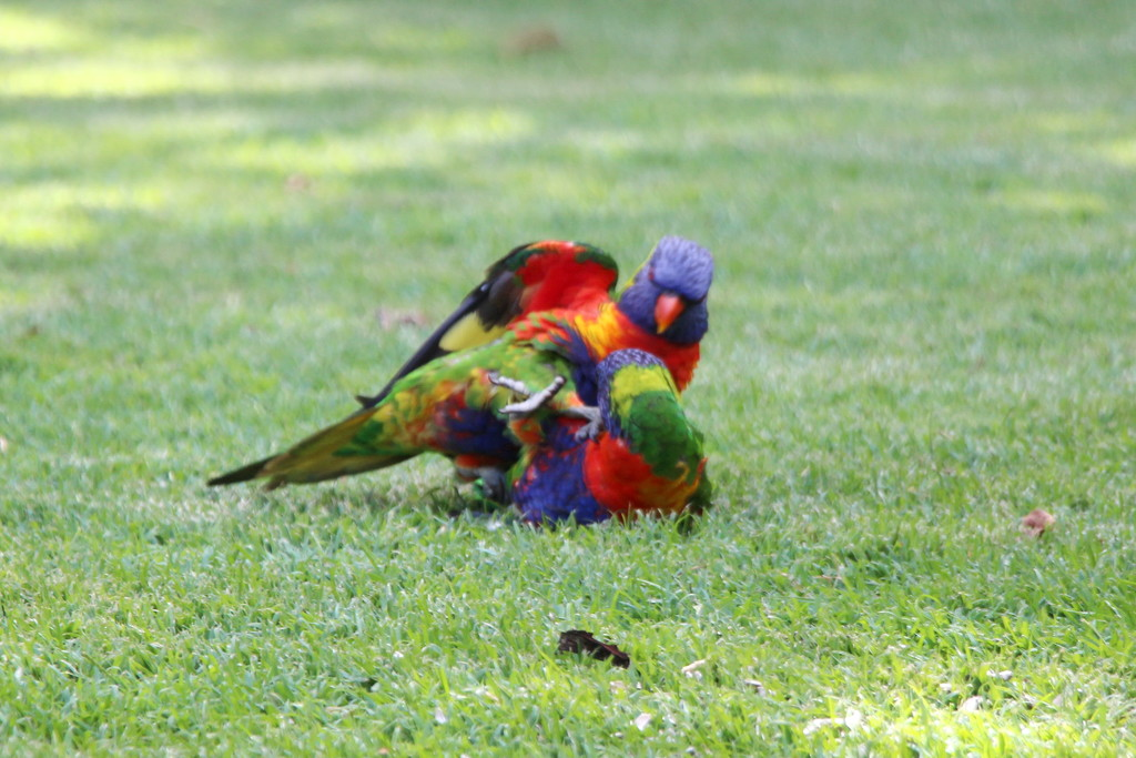 Wrestling Lorikeets by terryliv