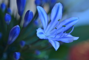 10th Jan 2015 - African Lily (Agapanthus)