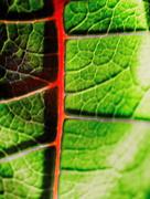 10th Jan 2015 - Poinsettia Leaf