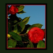 10th Jan 2015 - Camelia, Flower of Southern Winters