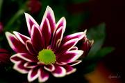 10th Jan 2015 - Chrysanthemum
