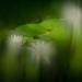 Blurish Water Lilies by yaorenliu