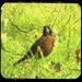 Robin by nanderson