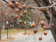 16th Dec 2014 - Nature's 'Christmas tree' ornaments