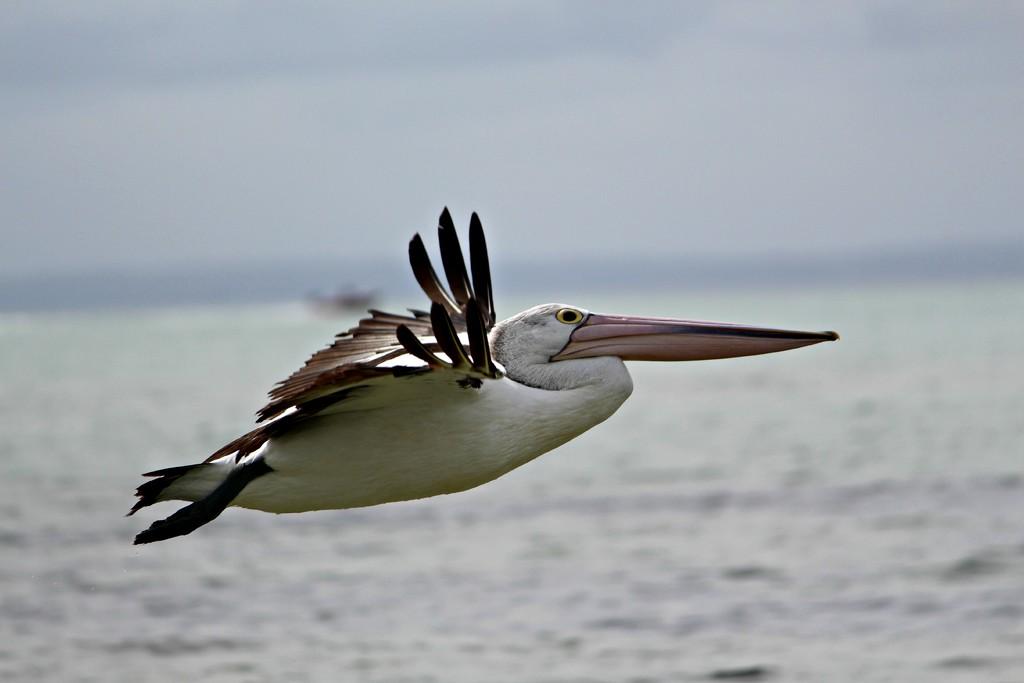 Fly Pelican Fly! by leestevo