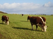 29th Oct 2010 - Hereford cattle.