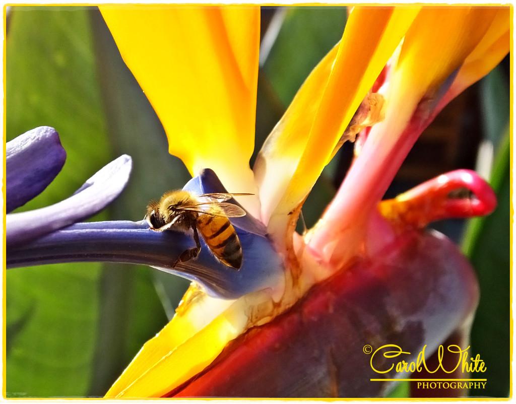 Savouring The Nectar by carolmw