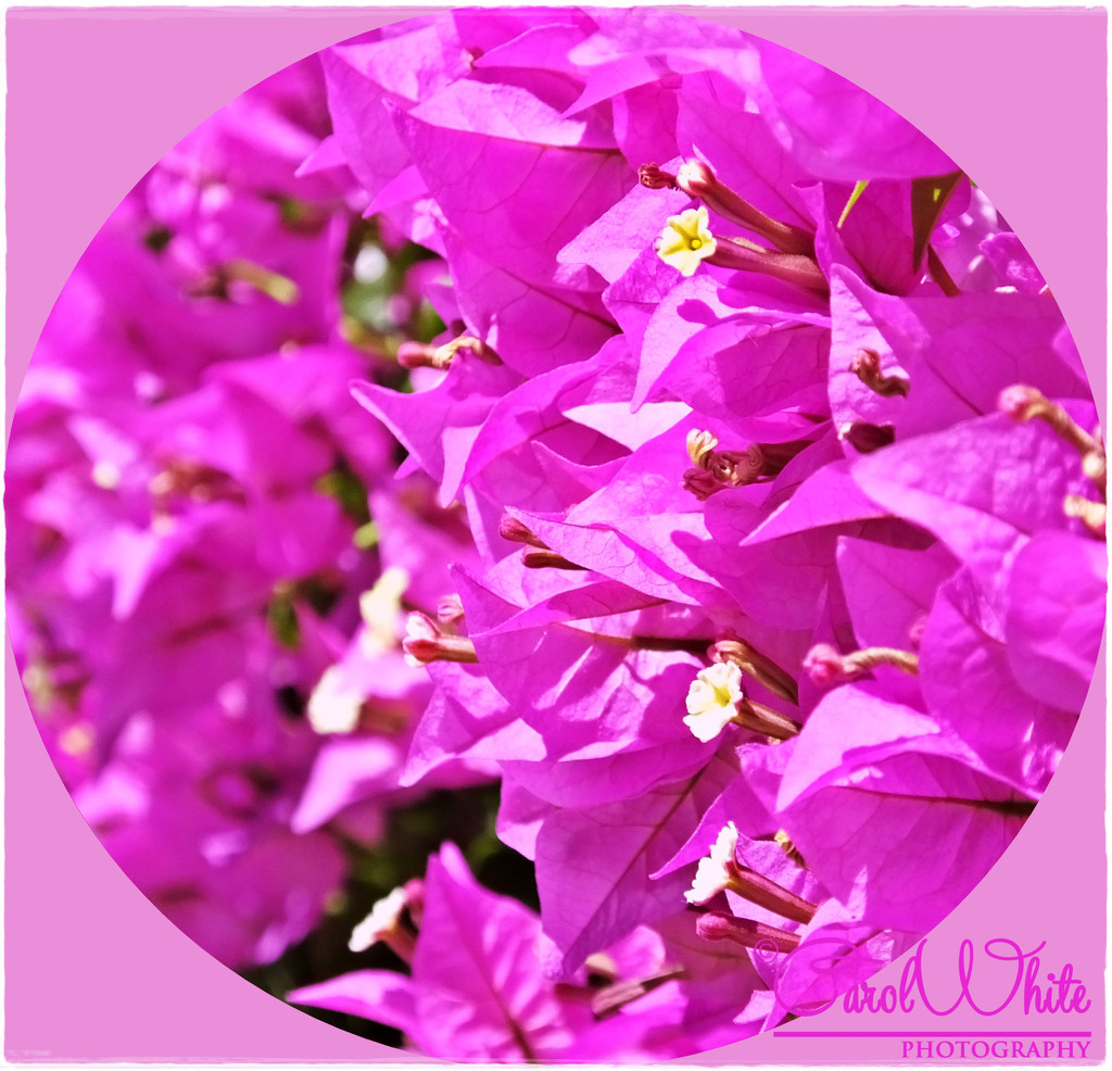 Bougainvillea by carolmw