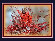 15th Jan 2015 - Red berries to brighten a dull day