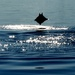 breaching mobula, an eagle ray similar to but smaller than the well known manta ray by mjalkotzy