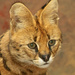 Serval Portrait by leonbuys83