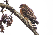 15th Jan 2015 - Found a Hawk - but Which??