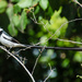Pintailed Whydah by salza