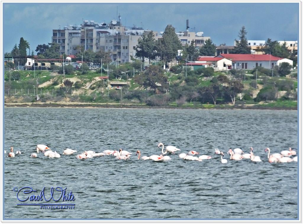 Feeding Flamingoes by carolmw