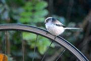 16th Jan 2015 - Long tailed tit on a wheel