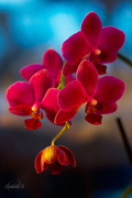 17th Jan 2015 - Orchid