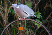 17th Jan 2015 - Pigeon on a wheel