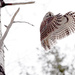 Barred Owl Take Off! by fayefaye