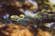 19th Jan 2015 - Branch from picea abies (Norway Spruce)