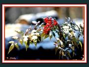 20th Jan 2015 - Snow Berries