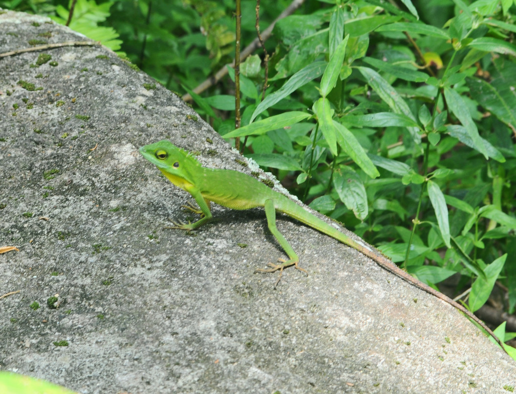 green lizard by ianjb21