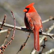 21st Jan 2015 - Red feathers