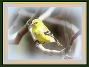 23rd Jan 2015 - Yellow Bird