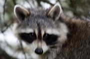 18th Oct 2010 - Racoon