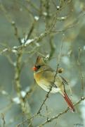 22nd Jan 2015 - ♀ Cardinal