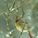 ♀ Cardinal