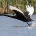 Black swan take off by flyrobin