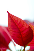 24th Jan 2015 -  Leaf from Poinsettia