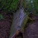 Old Tree Stump.