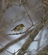24th Jan 2015 - Goldfinch Waiting Its Turn