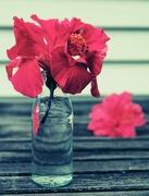 25th Jan 2015 - Hibiscus in vase
