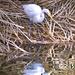 Egret's Mirror by joysfocus