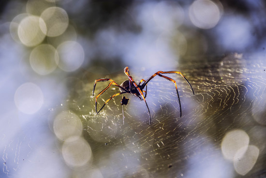 Golden Orb weaver by corymbia