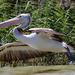 Pelican take off by flyrobin